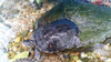 """Adult"" River Cooter Turtle (Pseudemys concinna)"